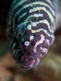 Moray della zebra Fotografia Stock