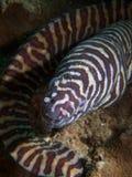 Moray della zebra fotografia stock libera da diritti