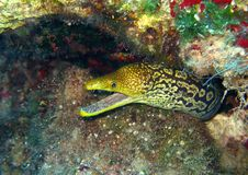Moray di Fangtooth Fotografia Stock