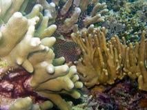 Moray di Whitemouth Immagine Stock Libera da Diritti
