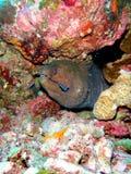 Moray eal. In Similan scuba diving, Andaman sea Stock Images