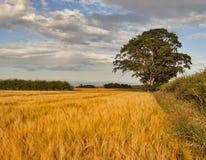 Moray edge of barley field. Royalty Free Stock Photo