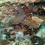 Moray eel Stock Photos