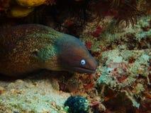 Moray Eel Arkivfoto