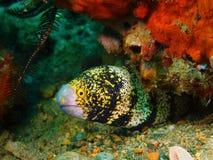 Moray Eel immagine stock libera da diritti