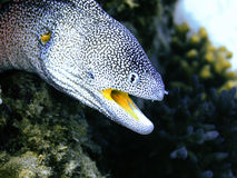Moray eel. Details of the head of a moray eel underwater in the Red Sea.  Family:  Muraenidae Stock Photography