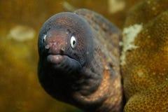 moray eel стоковые изображения