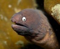 moray eel стоковое изображение rf