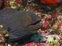 Moray eel. Giant moray , Gimnothorax javanicus  hides in cavern amongst colorful coral Royalty Free Stock Photo