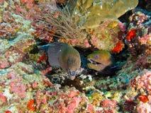 Moray Eel. In maldive divesite Stock Images