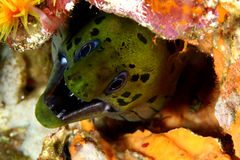Moray eel Stock Photos