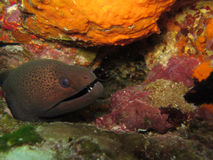 Moray eel. Hiding between coral royalty free stock images