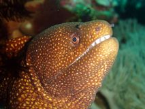 Moray eel. Eel at a cave Royalty Free Stock Images