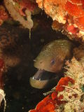 Moray Eel. Hugh Moray smiling from coral reef royalty free stock images