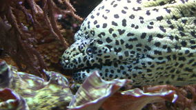 Moray Eel. Close-up shot of a moray eel in a fish tank. Canon HV30. HD 16:9 1920 x 1080 at 25.00 fps. Progressive scan. Photo JPG Compression. No audio stock video footage