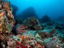 Moray Eel Royalty-vrije Stock Afbeelding
