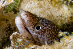 Moray Eel Stock Photo