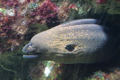 Moray eel royalty free stock images