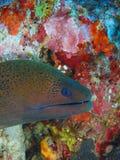 Moray Eel Foto de archivo libre de regalías