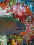 Moray Eel Royalty-vrije Stock Foto
