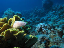 Moray Eel. On coral. shot in the Red Sea Stock Photo