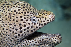 Moray eel Royalty Free Stock Image