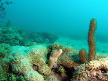 Moray Eel. This moray eel was taken at 30 feet off the south Florida coast Royalty Free Stock Photos