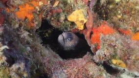 Moray Eel archivi video