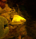 Moray Eel, fotografia stock