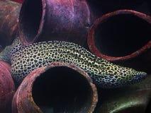 Moray Eel stock foto's