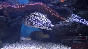 Moray eel in the aquarium. Exotic fish in aquarium surprise visitors by its wide variety. Underwater world is rich in sea habitants of bright colorations and stock video footage