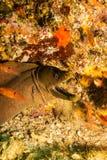 Moray eel, Baja Reefs. Stock Photography