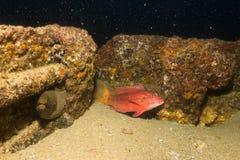 Moray eel, Baja Reefs. Royalty Free Stock Photos