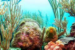 Moray Eel a Belize Coral Reefs immagine stock