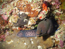 Moray eel in a cave. The lair of a moray eel in the reef discovered during a dive Stock Images
