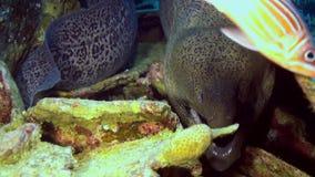 Moray Eel che colpisce la sua testa dal suo foro in scogliera video d archivio