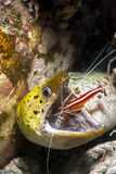 Moray Eel and cleaner shrimp. Moray Eel getting it's mouth cleaned by a cleaner shrimp on a reef in Sipadan Islands in Sabah, Malaysia stock photo