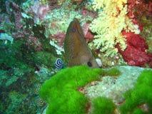Moray eel in coloral reef. Underwater view of moray eel in colorful coral reef royalty free stock image
