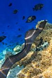 Moray eel is on coral reef Stock Photo