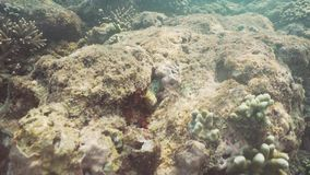 Moray eel on the coral reef. Moray eel tropical fish on a coral reef. Underwater world with corals and tropical fish. Diving and snorkeling in the tropical sea stock footage