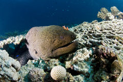 Moray Eel and coral table, underwater, Red Sea, Egypt. Moray Eel and table coral, Red Sea. Gymnothorax javanicus Stock Photos