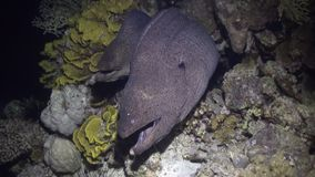 Moray eel in corals on blue background of sandy bottom of landscape in Red sea. stock video