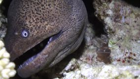 Moray eel in corals on blue background of sandy bottom of landscape in Red sea. stock video footage