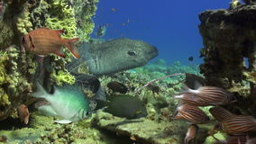 Moray eel in corals on blue background of sandy bottom of landscape in Red sea. Swimming in world of colorful beautiful wildlife of reefs and algae stock video
