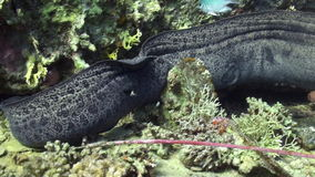 Moray eel in corals on blue background of sandy bottom of landscape in Red sea. stock footage