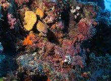 Moray Eel. (corythoichthys flavofasciatus) hiding in a coral reef Stock Image