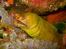 Moray eel in crevice. Green and yellow moray eel hiding in crevice, revealing fangs and looking at camera stock images