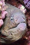 Moray eel in crevice Stock Photos