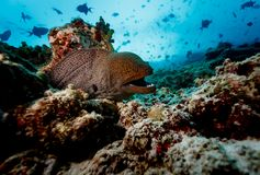 Spotted Moray eel emerging from coral reef with white teeth gleaming in an open mouth. Moray eel emerging from coral reef with white teeth gleaming in an open Stock Images