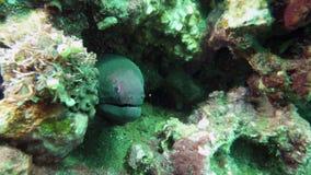Moray Eel en la boca del hogar en arrecife de coral Ciérrese encima de tiro Sorprendiendo, mundo subacuático hermoso de la vida m almacen de metraje de vídeo
